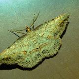 Geometridae : Oenochrominae : Taxeotis intextata GUÉNÉE, 1857. Umina Beach (N. S. W.), 8 décembre 2011. Photo : Barbara Kedzierski