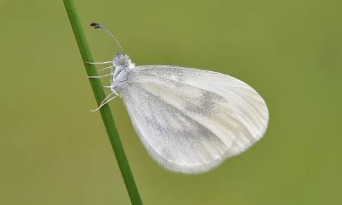 The white butterflies spotted in Vanga. PHOTO | BMS
