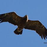 Aquila pomarina