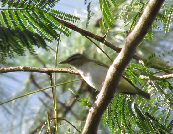 Red Eyed Vireo Bird (2)
