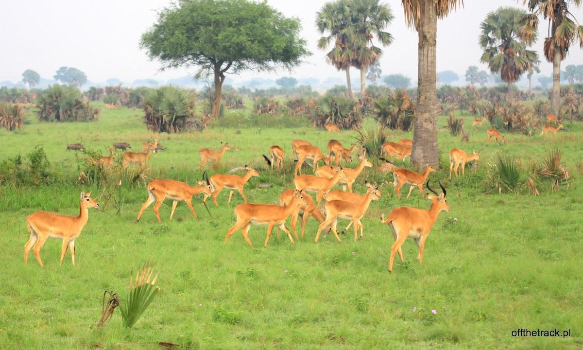 Stado antylop Oribi na sawannie, park narodowy Murchison Falls, Uganda