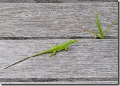 Green Anole-2