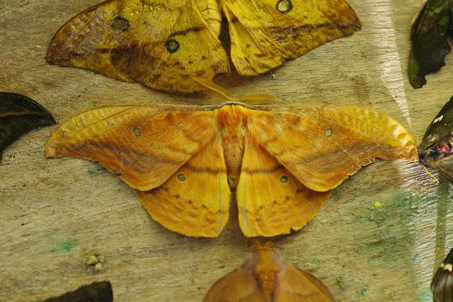 Saturniinae : Copaxa syntheratoides Rothschild, 1895, mâle (au-dessus : femelle). Mount Totumas, 1900 m (Chiriqui, Panamá), 22 octobre 2014. Photo : J.-M. Gayman
