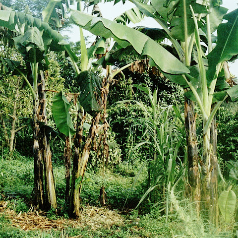 Banana plants growing