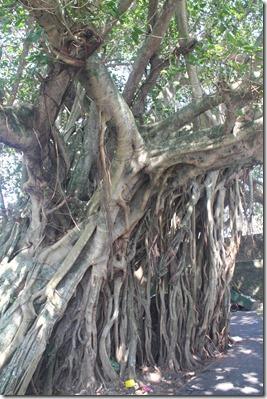 Форт Галле, баньян