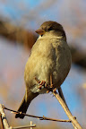 House Sparrow Female