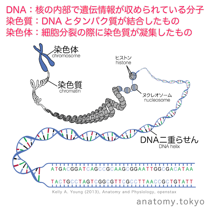t111-32-DNA・染色質・染色体.png