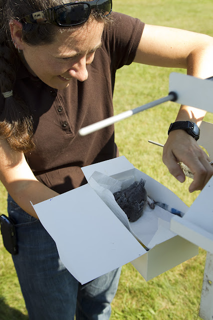 Purple Martin Banding Hammonasset Park July 2012 - BC3G6188.jpg