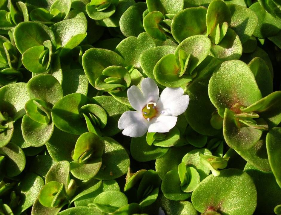 Бакопа южная (Bacopa australis)
