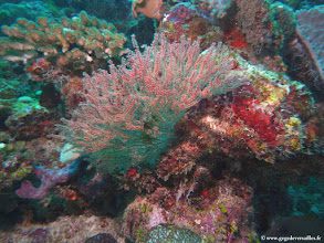 Photo: #010-Alcyonaire sur le site de One Palm Reef-Euro-Divers Club Med Kani.