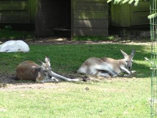 2016.07.31-009 kangourous roux