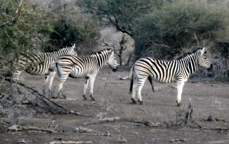 Tuli Block - Male Zebra