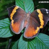 LepidopteresDArgentine