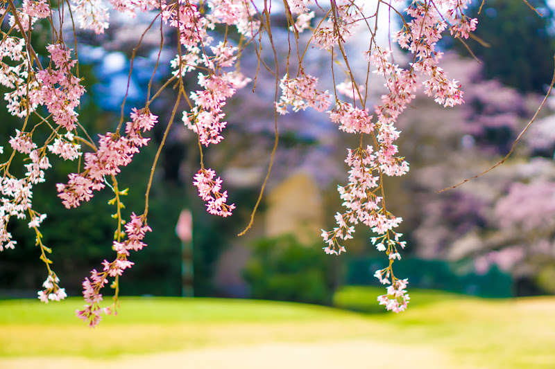 富士ビューホテル 桜 写真11