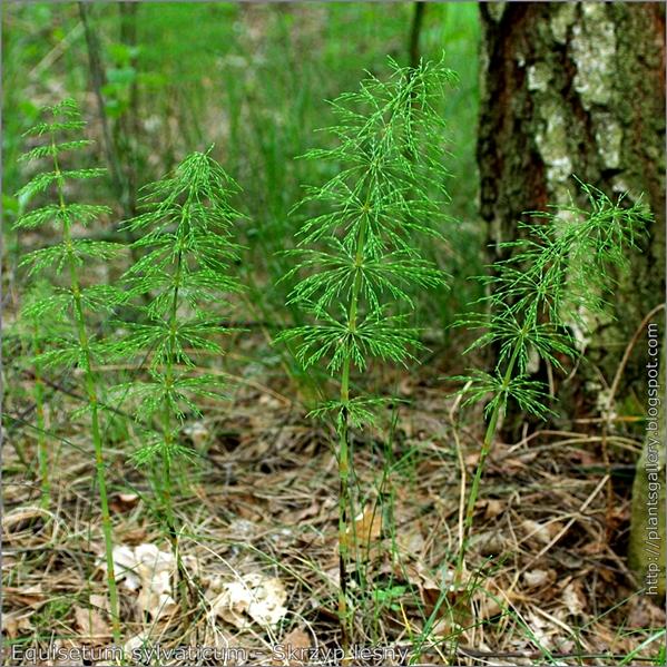 Equisetum sylvaticum - Skrzyp leśny pokrój