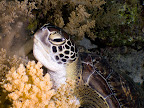 Green sea turtle (Chelonia mydas) eating a soft coral