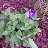 Gardening 2010, Part Two - 101_2451.JPG