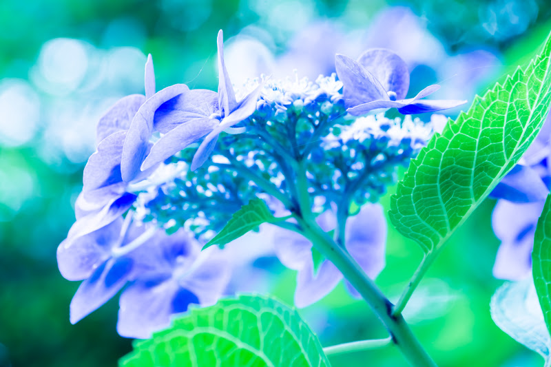Hydrangea flowers at Takahatafudoson Kongoji Temple21