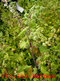 Ortie a pilules Urtica pilulifera Corse.jpg