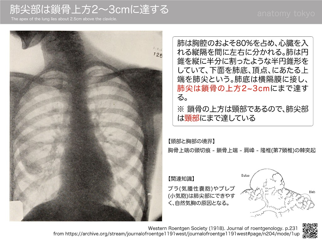 The-apex-of-the-lung-lies-about-2.5cm-above-the-clavicle.jpg