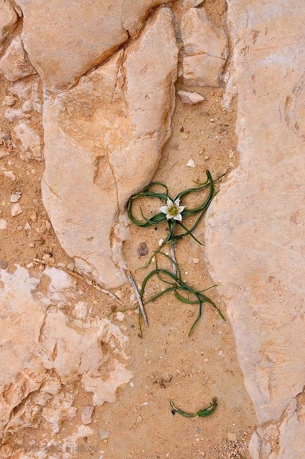 Маленький цветочек в пустыне Негев. Экскурсия гида Светланы Фиалковой.