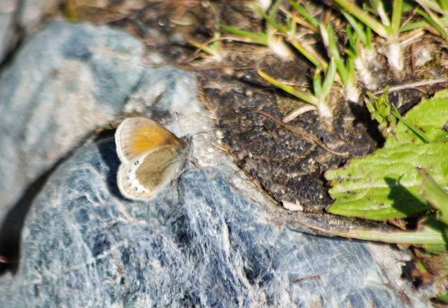 Coenonympha gardetta (DE PRUNNER, 1798). Marmorè, Sils Maria, 2100 m (Grisons, CH), 11 juillet 2013. Photo : J.-M. Gayman