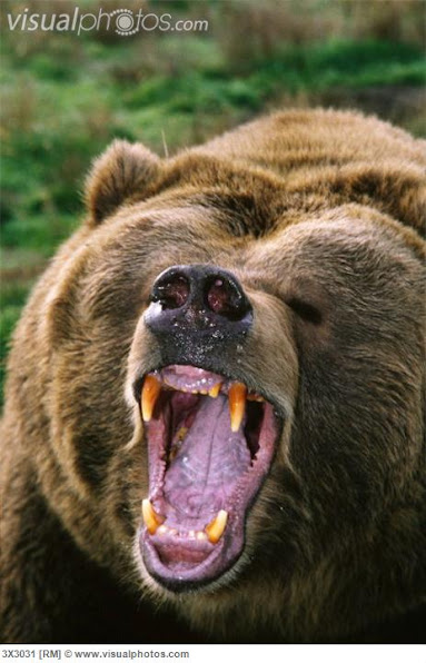 Urso pardo vs Urso polar Grizzly_bear_grizzly_bear_ursus_arctos_growling_3X3031