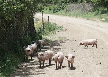 Freilaufende (Haus)Schweine