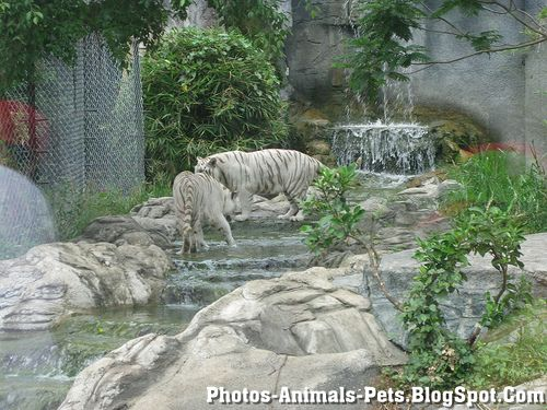 https://lh3.googleusercontent.com/-IVm9R_Y3oUQ/TXxmNze3JbI/AAAAAAAAAHI/Uv6tYUwyoPs/s1600/Photos-white+tiger.jpg