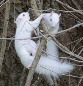 Vitiligo - 白斑癥 . Albinism - 白化癥 . Leucism - 白變癥 @ 老生常譚 :: 隨意窩 Xuite日誌