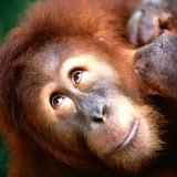 Angelic Face, Sumatran Orangutan.jpg