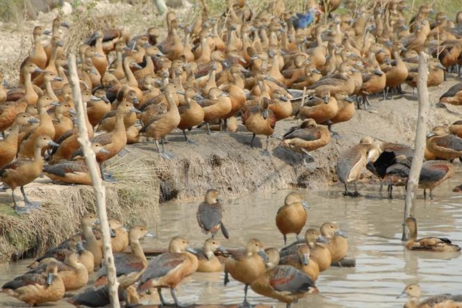 Mô hình nuôi chim le le - 574d4bb468ede