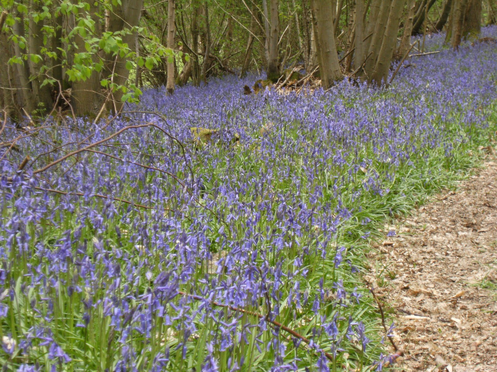 1005050003 Bluebell wood near Cowden station