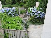 Blue Hydrangeas are the essence of summer in a seaside garden