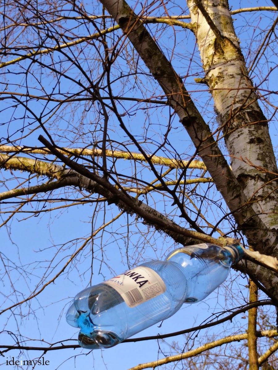 sok z brzozy, oskoła, metody zbierania soku z drzew