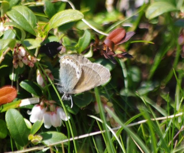 Coenonympha gardetta (DE PRUNNER, 1798). Alp Muot Selvas, Val Fex, 2100 m (Engadine, Grisons, CH). 14 juillet 2013. Photo : J.-M. Gayman