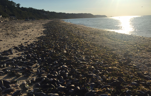 Thousands of dead mussels washed ashore near United Riverhead Oil Terminal on Long Island Sound near Jamesport, New York, on 24 August 2016. It is likely that high water temperatures due to the prolonged hot temperatures in Summer 2016 is the cause. Photo: Grant Parpan