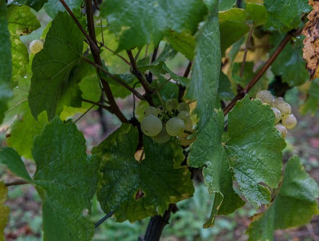 Petites vendanges 2017 du chardonnay gelé. guimbelot.com - 2017-09-30%2Bvendanges%2BGuimbelot%2Bchardonay-109.jpg