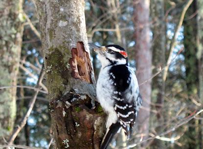 Hairy Woodpecker Jan 18 2008-13.jpg