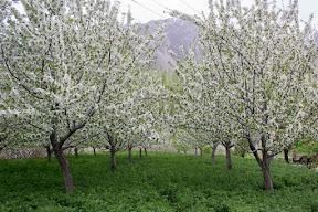Cherry blossom in Hunza