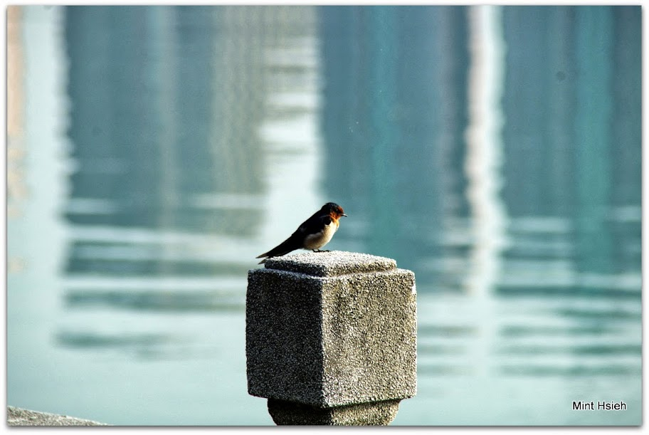 澄清湖的洋燕們(圖4枚)