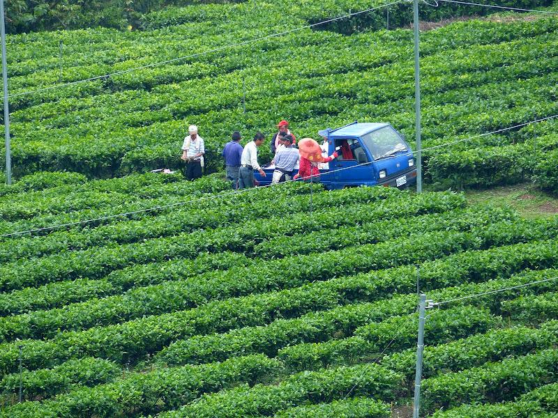 Puli, Nantou county, cueillette de thé - P1050522.JPG