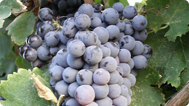 vitigno-monica-di-sardegna