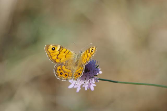 Lasiommata maera adrasta (Hübner, [1823-1824]), femelle. Les Hautes-Courennes (550 m), Saint-Martin-de-Castillon (Vaucluse), 16 juin 2015. Photo : J.-M. Gayman