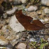 Marpesia chiron chiron (Fabricius, 1775) et M. petreus petreus (Cramer, 1776). Finca La Graciela, 239 m (Tamarindo, Casanare, Colombie), 5 novembre 2015. Photo : J.-M. Gayman