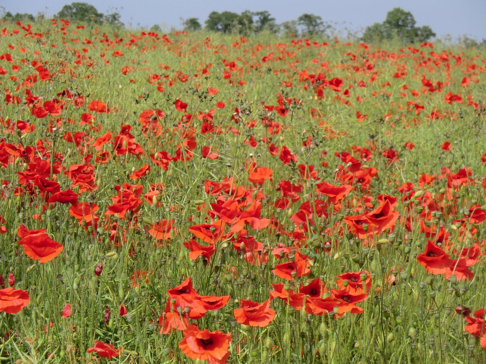 CIMG7520 Poppy field, Eynsford