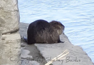 European Beaver, Carassonne. Copyright © Shelley Banks, all rights reserved.
