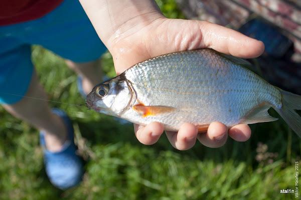 Риба Густірка