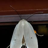Xyloryctidae : Maroga melanostigma WALLENGREN, 1861. Umina Beach (N. S. W., Australie), 22 janvier 2012. Photo : Barbara Kedzierski