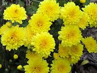 Eye-Popping 'Bernadette Yellow' Mums